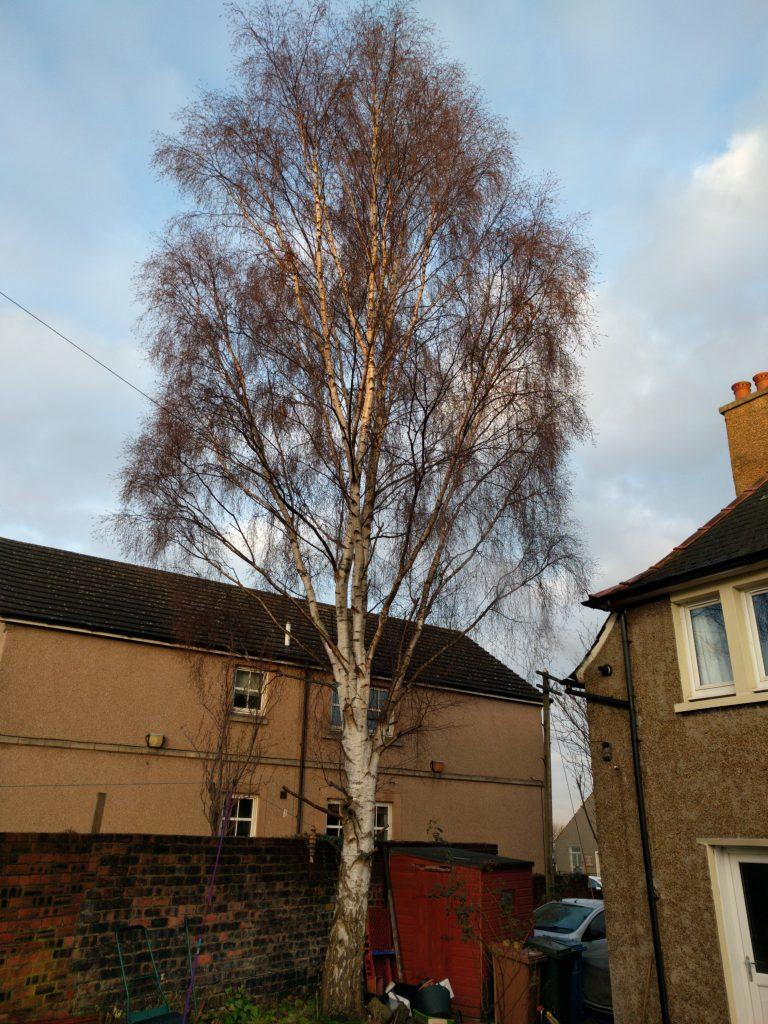 Rear aspect of silver birch before crown reduction