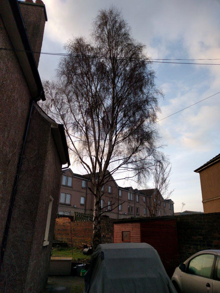 Front aspect of silver birch before crown reduction