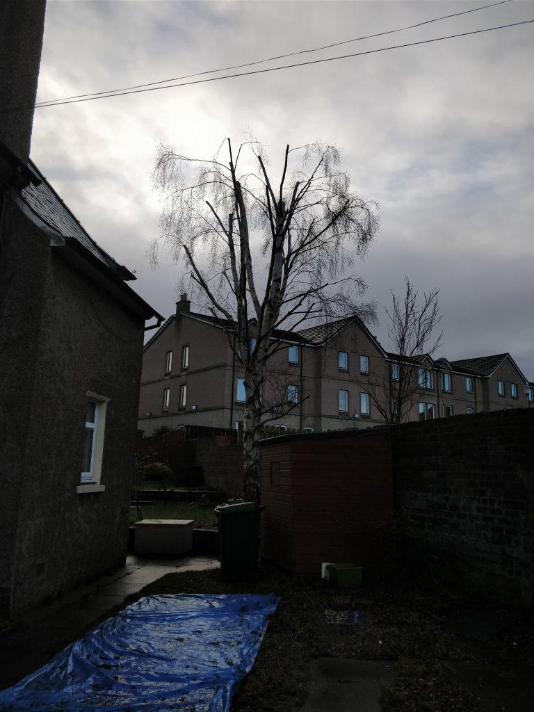 Front aspect of silver birch after crown reduction