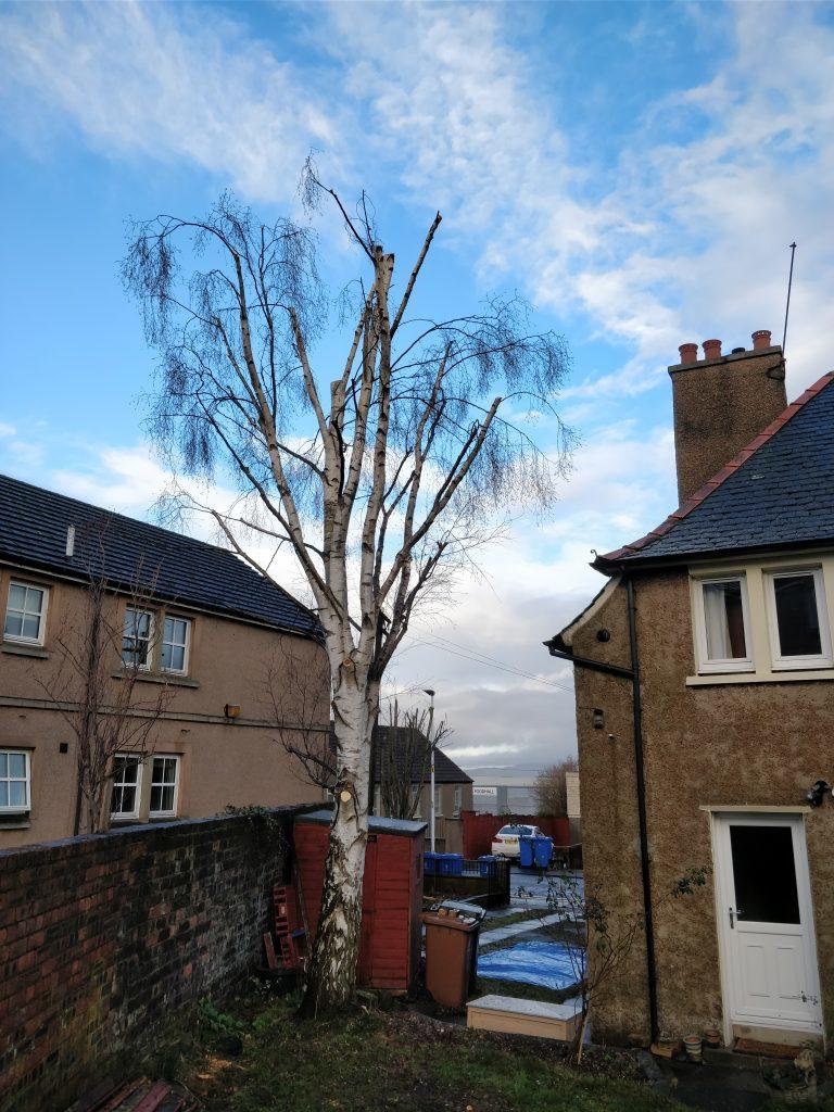 Rear aspect of silver birch after crown reduction