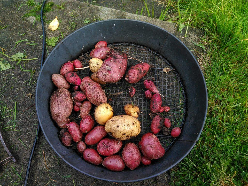 Compost heap potatoes