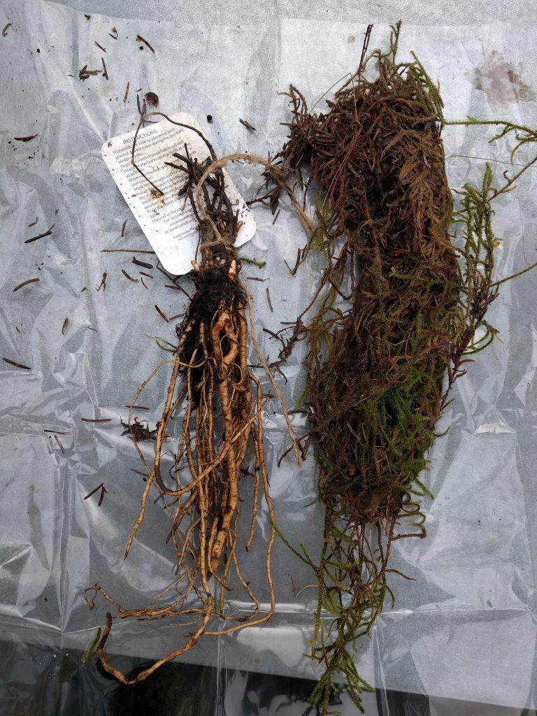 Bare root Golden Tassels hop with moss protection along side